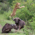 buffalo-lion-fight