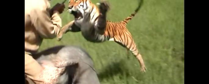 Tiger-Leaps-to-Attack-Human.-Don't-Mess-with-Tigers.
